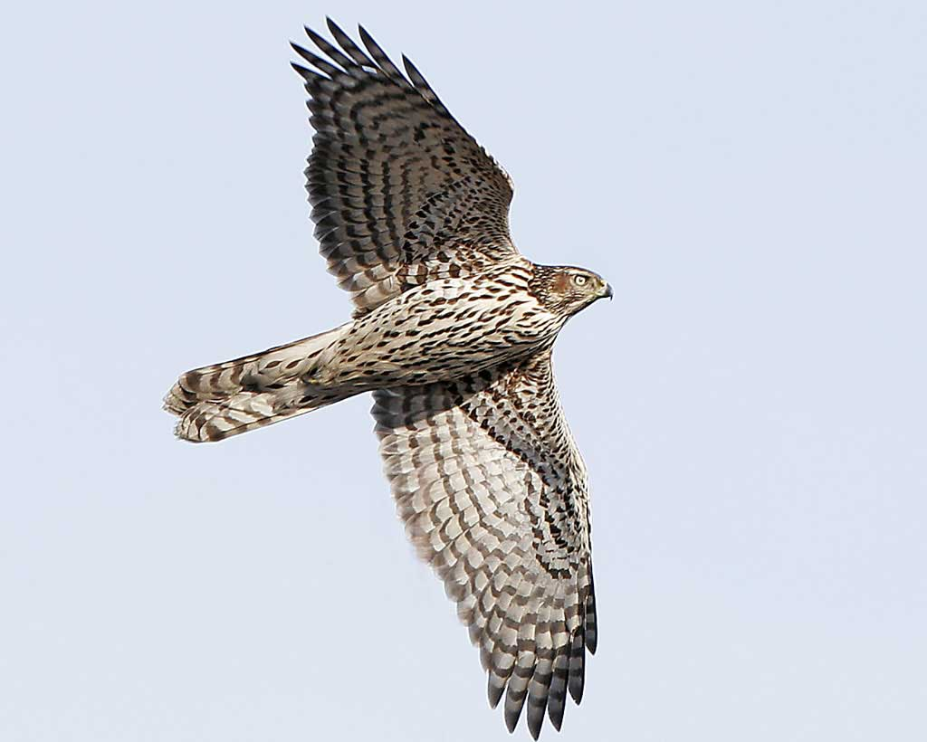 1024x820 Northern Goshawk Audubon Field Guide