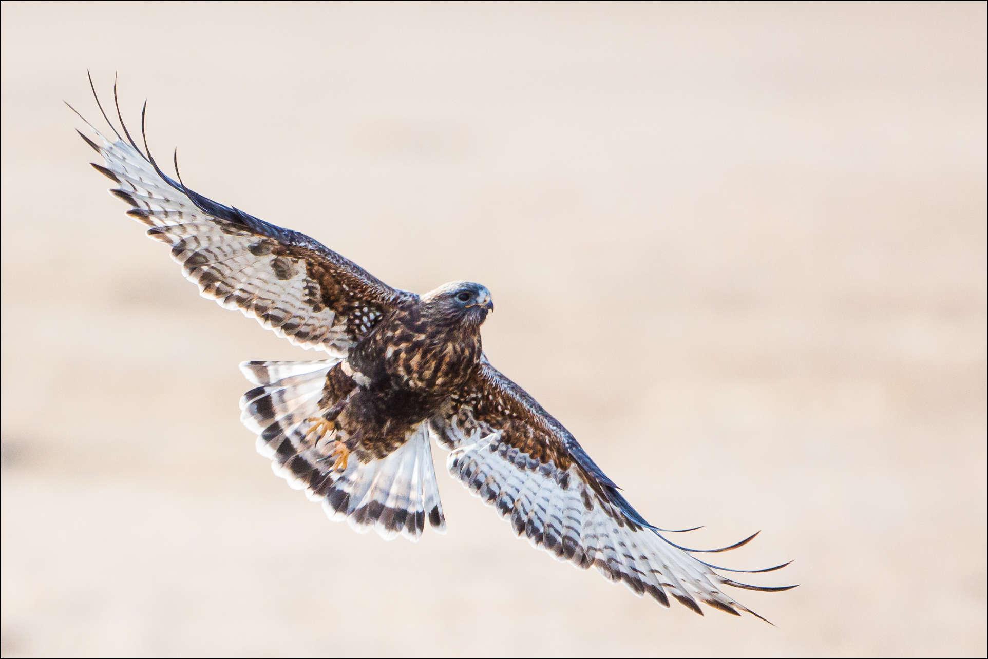 1924x1284 Rough Legged Hawk Christopher Martin Photography