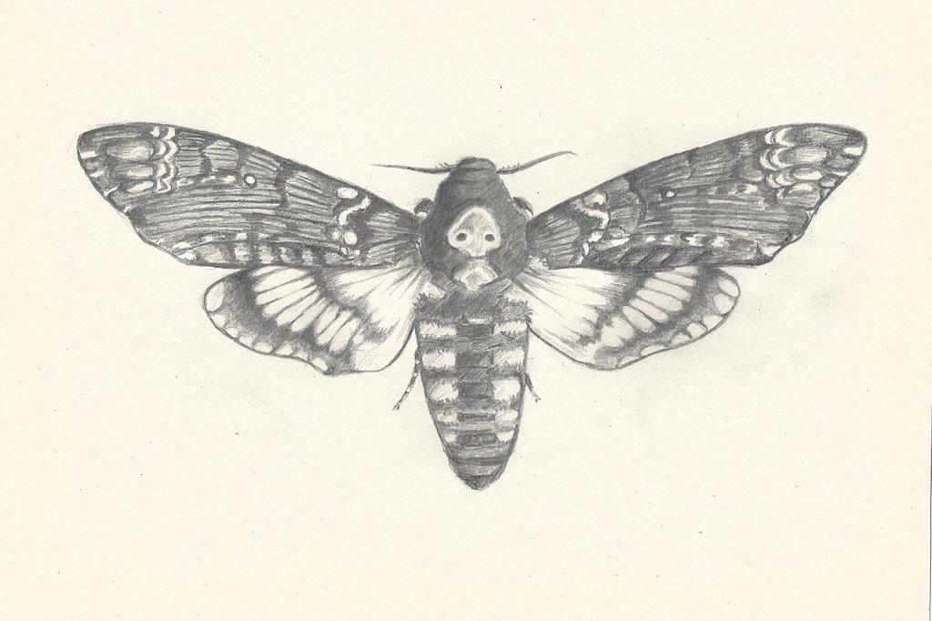 1024x682 Death's Head Hawk Moth By Ichiru San