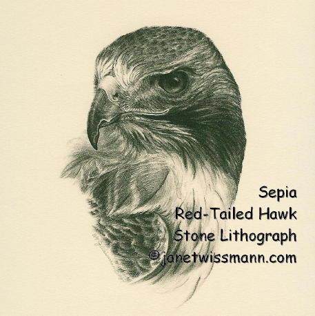 457x458 Hawk Head Drawing