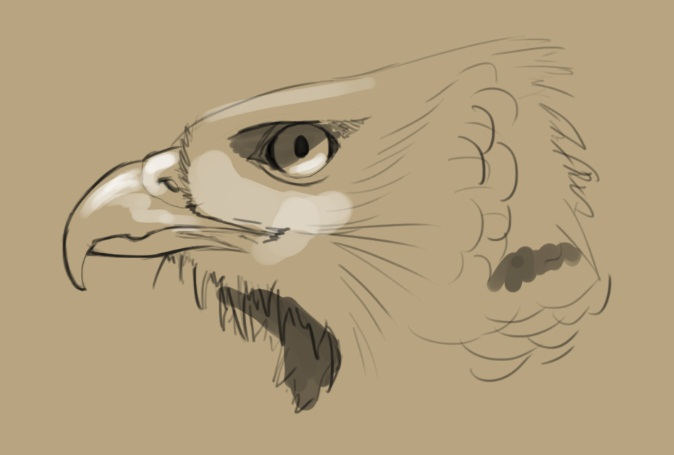 674x455 Hawk Head Study By Dkdevil