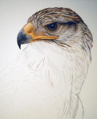 409x500 Wip Ferruginous Hawk [Archive]
