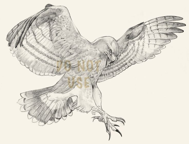 736x563 Red Tailed Hawk Referring Red Tailed Hawk Anatomy