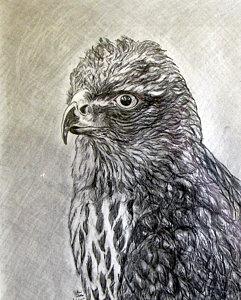 241x300 Hawks Drawings