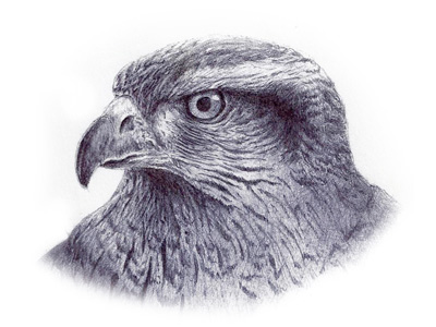 400x300 Red Tail Hawk Sketch Red Tailed Hawk And Sketches