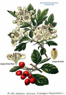277x400 Crataegus Monogyna, Hawthorn Apothecary Botany