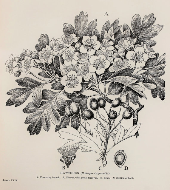 570x637 Vintage Botanical Print By C. F. Newall Hawthorn, May (Leaves
