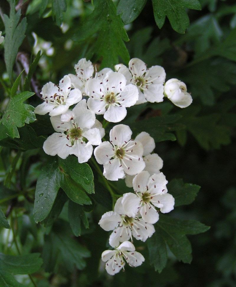 800x976 White Hawthorn Blossom State Symbols Usa