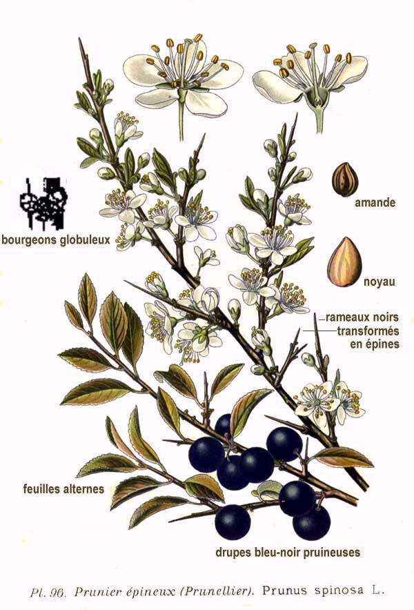 600x884 Hawthorn Botanical Illustration