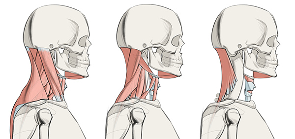 600x282 How To Draw The Neck