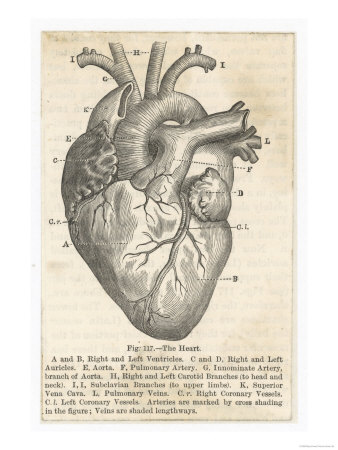 338x450 Anatomy Of The Heart Vintage Art Prints, Vintage Art And Giclee