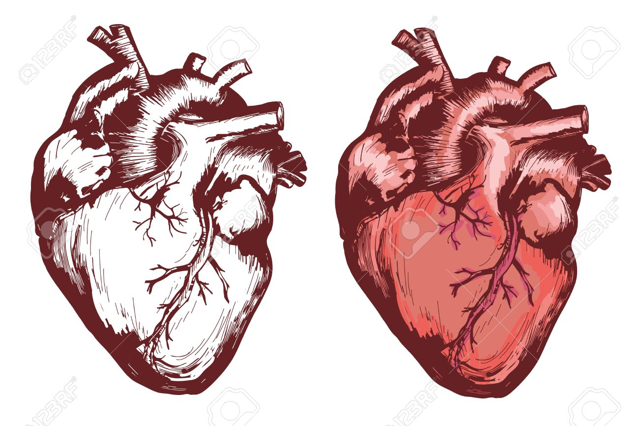 1300x866 Human Heart, Anatomical Heart Hand Drawn Vector Illustration