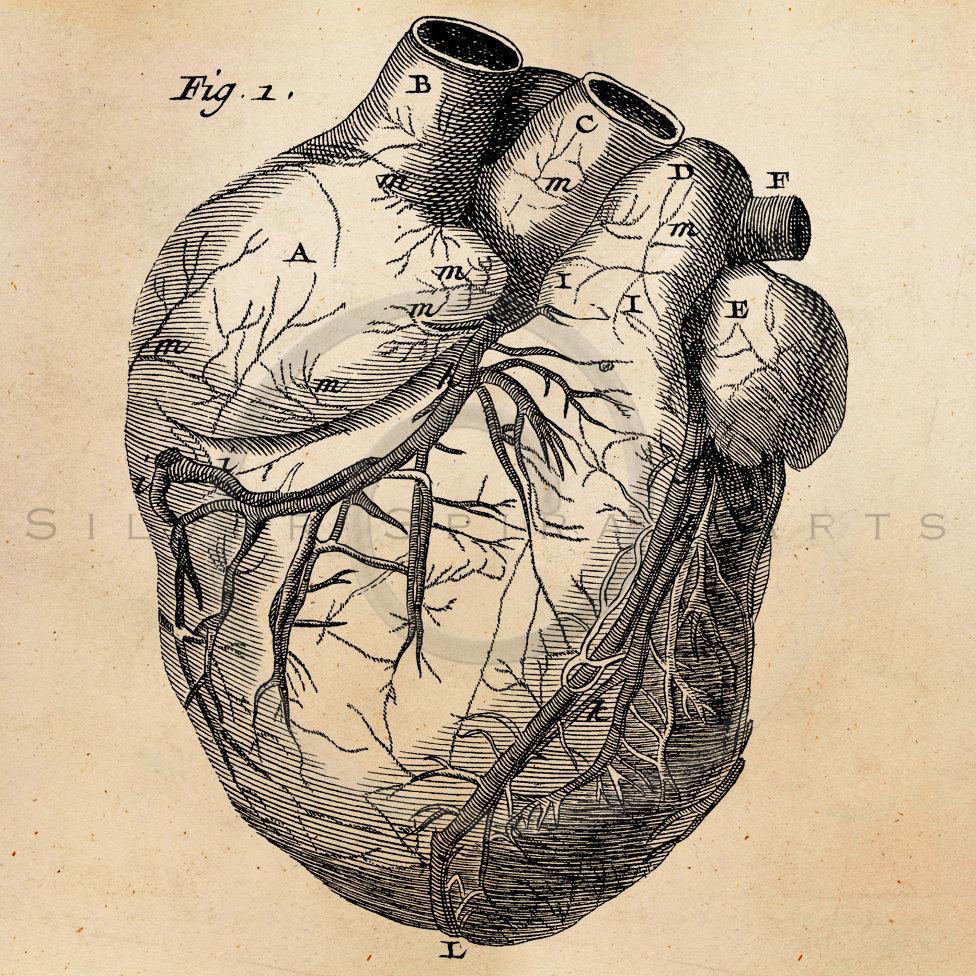 976x976 Vintage Heart Anatomy Illustration Printable 1800s Antique
