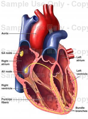 295x400 Heart
