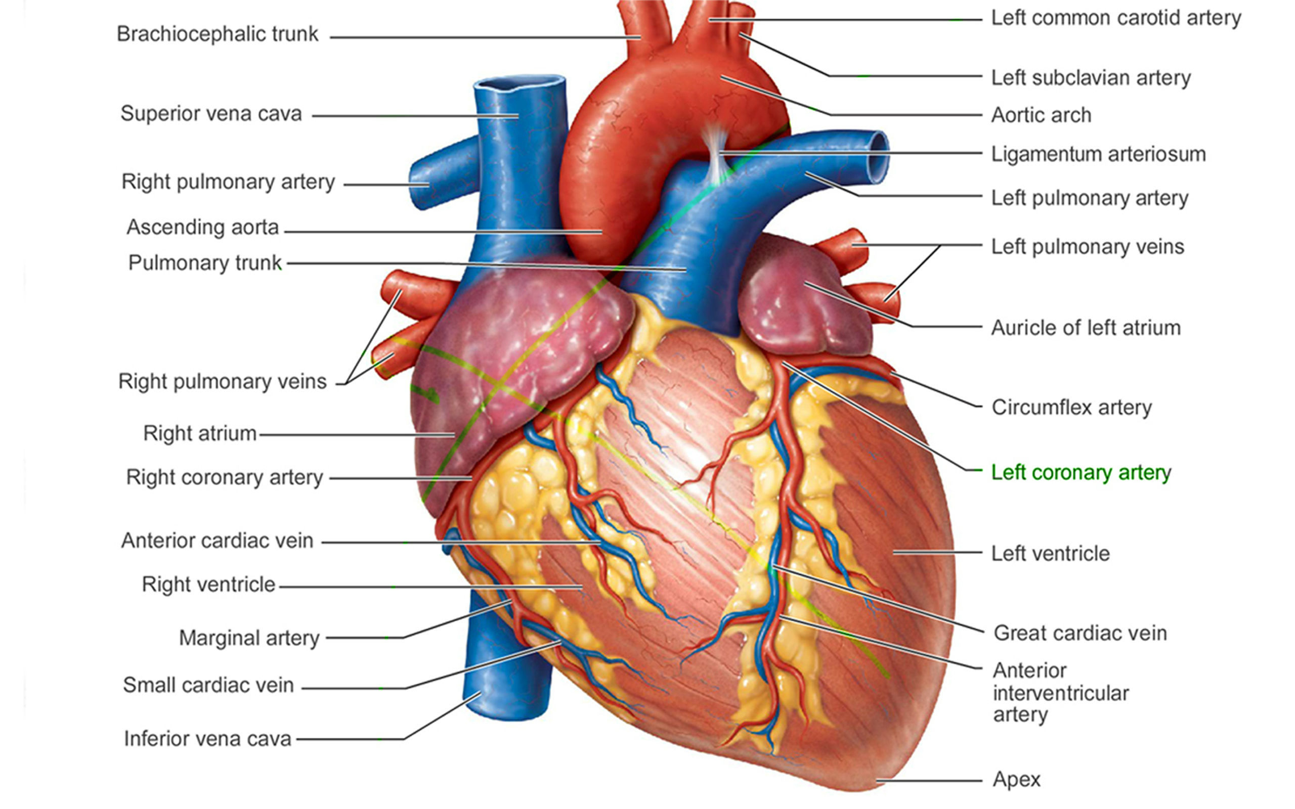 Worksheets The Human Heart Anatomy And Circulation Worksheet heart anatomy drawing at getdrawings com free for personal use 2560x1600 with label the human diagram labeled