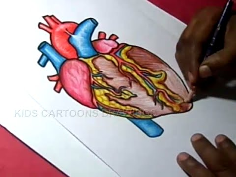 480x360 How To Draw Human Heart Anatomy Color Drawing For Kids