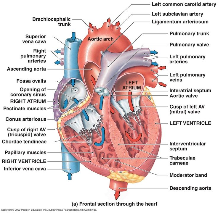 Heart Diagram Ascending Aorta Online Schematic Diagram