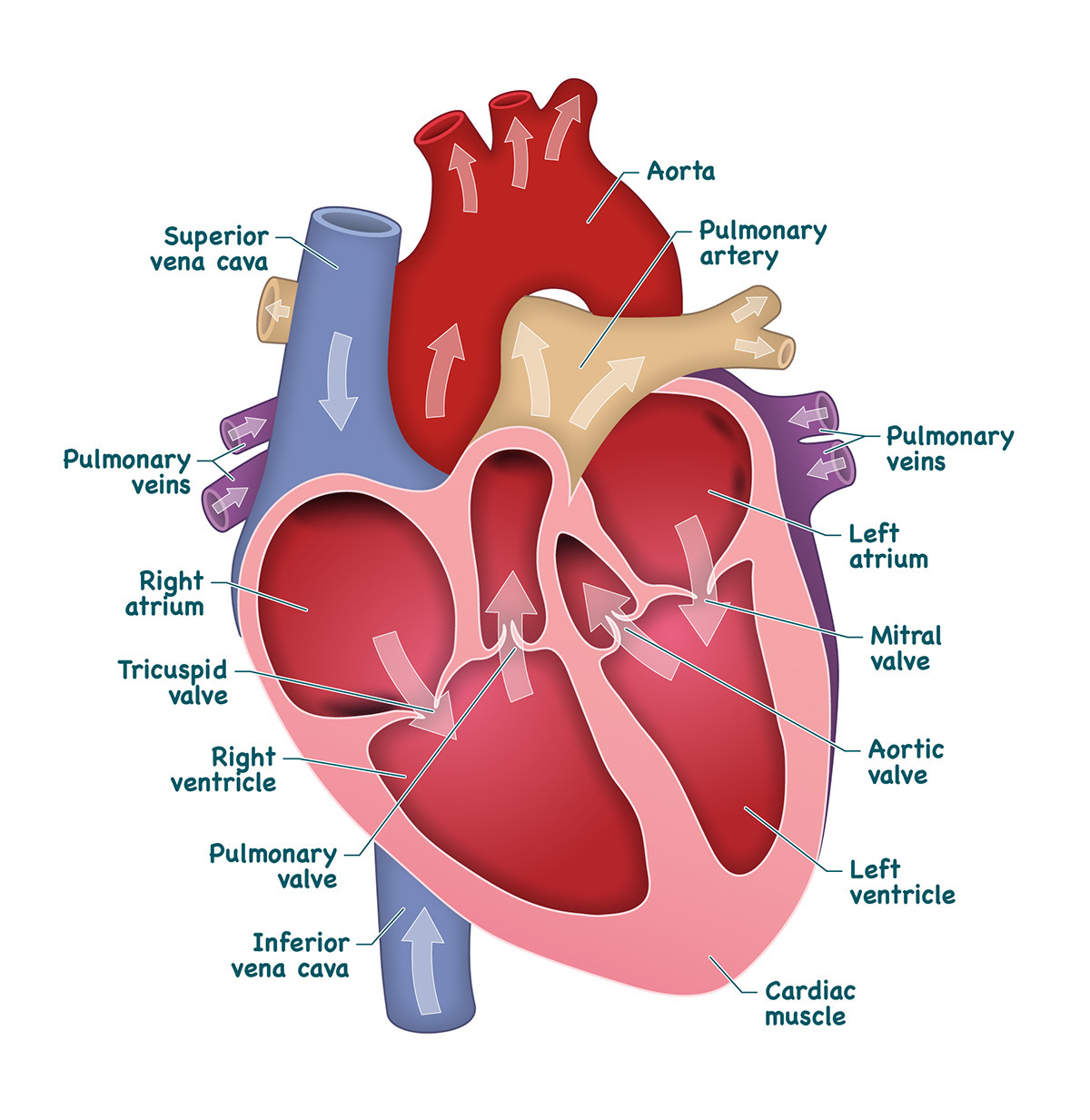 Diagram to label the heart of public domain electrical drawing heart and labels drawing at getdrawings com free for personal use rh getdrawings com heart anatomy diagram all the labels of the heart ccuart Choice Image