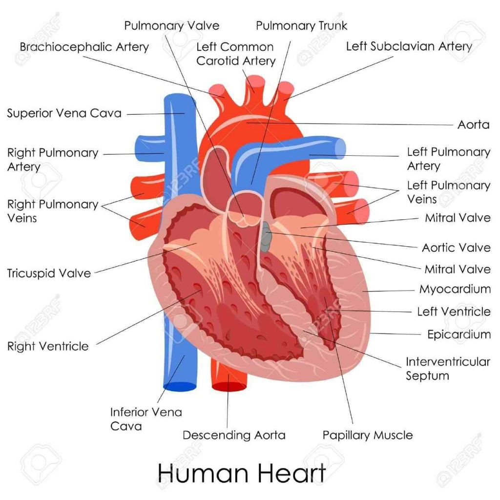 1024x1024 Section Of Human Heart Drawing With Labels Diagram Of The Heart