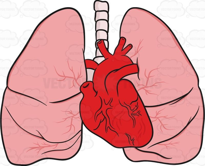 800x649 Heart And Lungs As They Would Appear In The Body Lungs