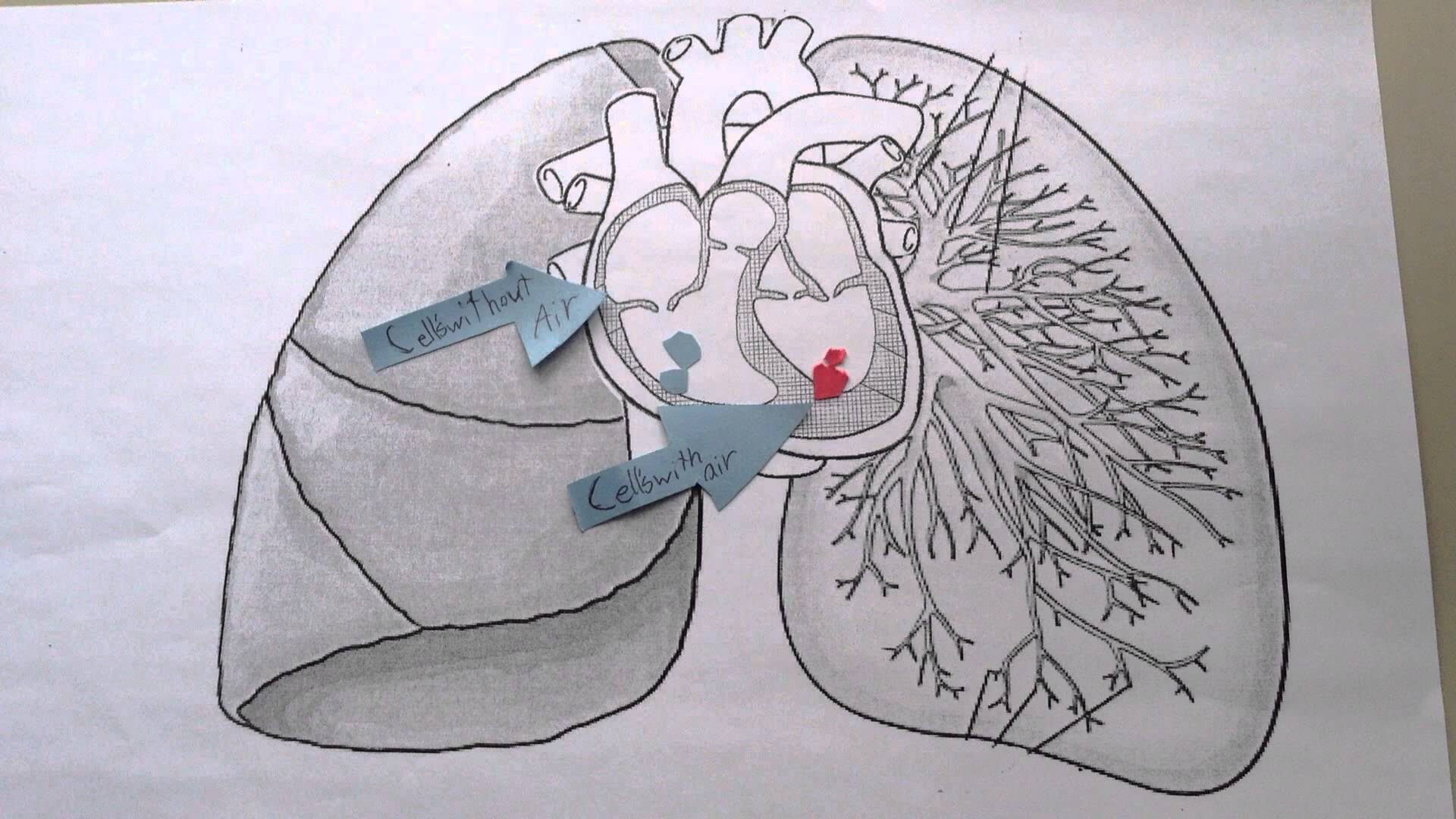 1920x1080 Heart And Lungs Stop Motion! With Ds52