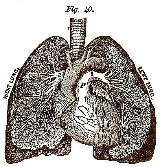 553x575 Sunday Freebie Anatomical Heart And Lungs Wonderstrange Arts