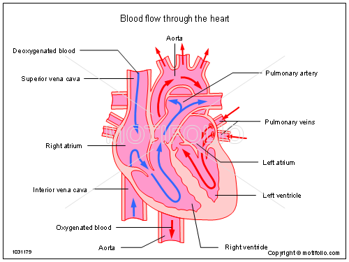 500x375 Blood Flow Through The Heart Illustrations