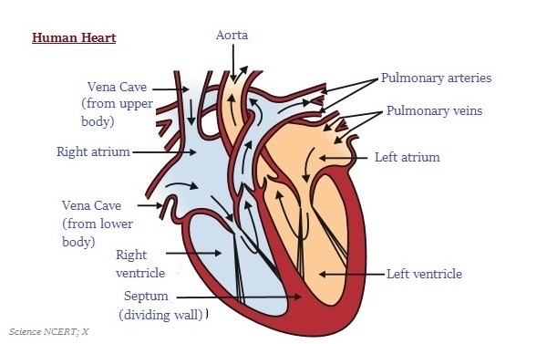 600x377 Easy Steps To Draw Human Heart [Class 10 Ncert] Write Down Each
