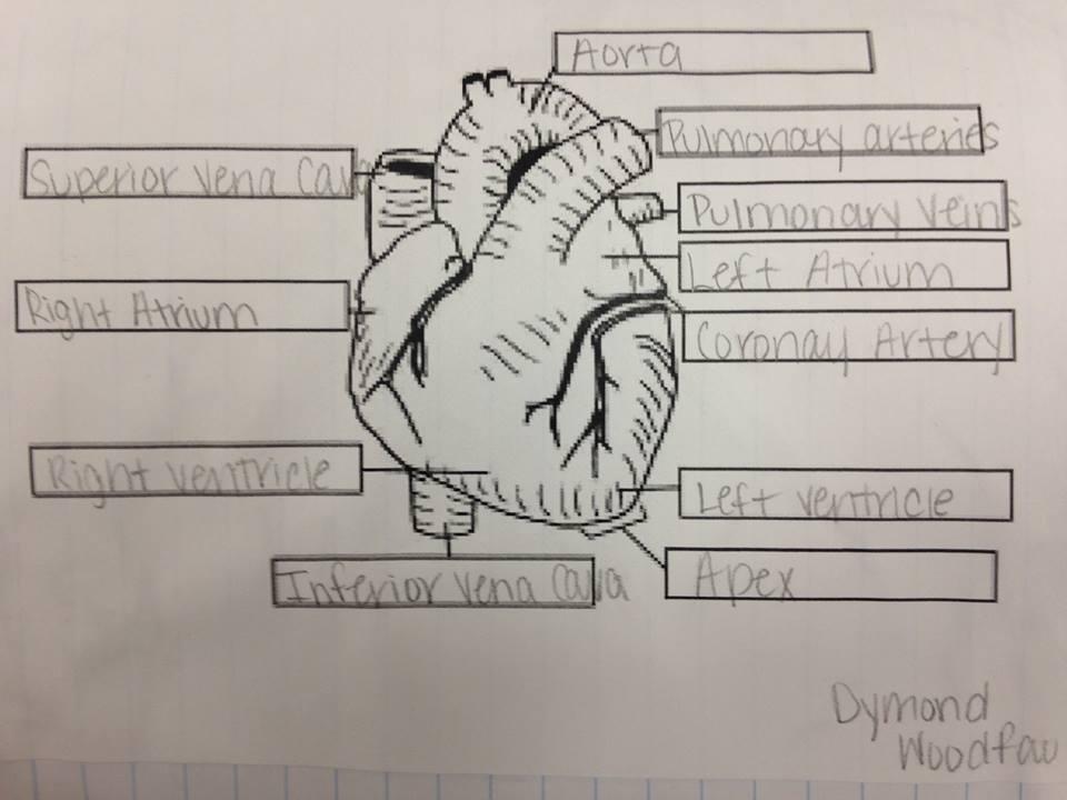 Heart Diagram Drawing at GetDrawings.com | Free for ...