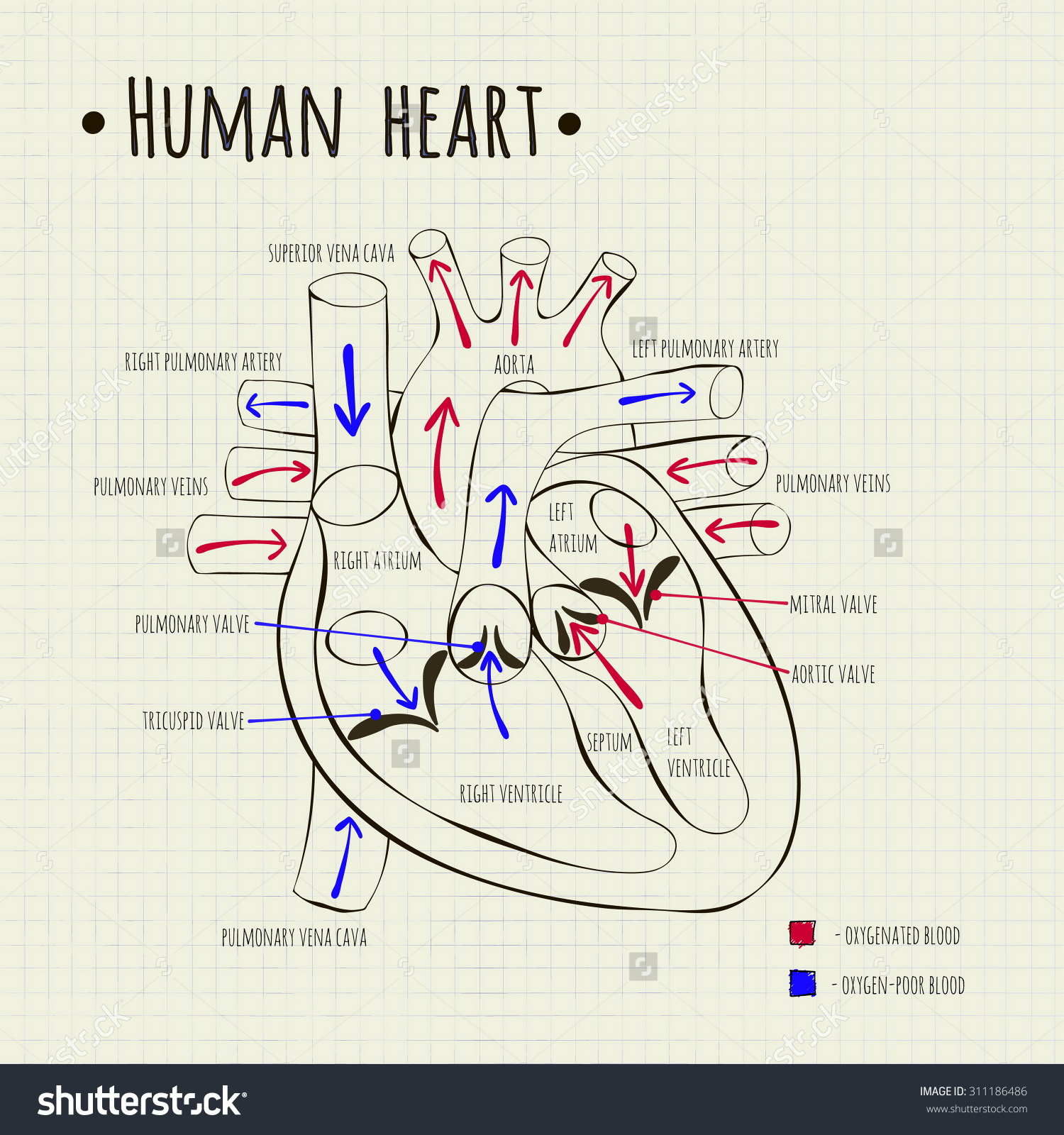 1500x1600 Heart Diagram Drawing