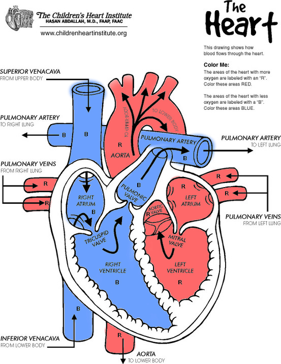553x716 Human Anatomy Diagram Color Drawing Anatomy Heart Diagram