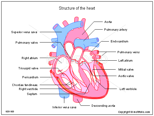 500x375 Structure Of The Heart Illustrations