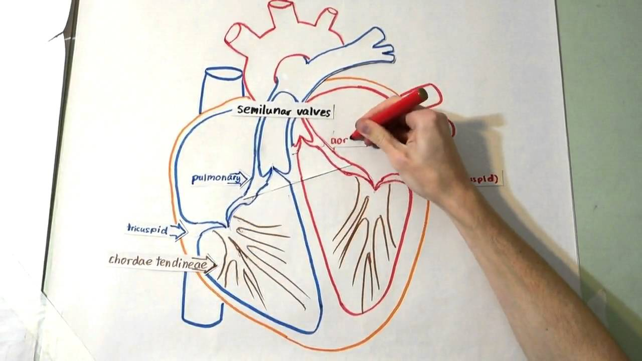 1280x720 The Heart Structure And Function