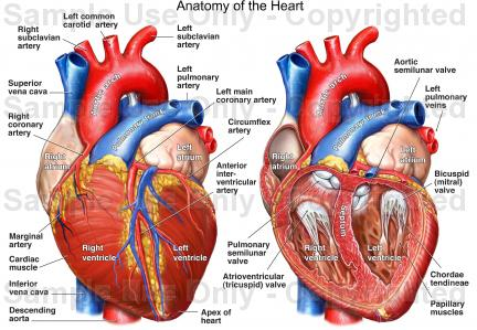 Heart Drawing Anatomy At Getdrawings Free For Personal Use