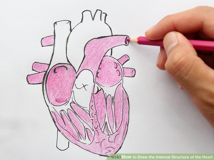 728x546 How To Draw The Internal Structure Of The Heart (With Pictures)