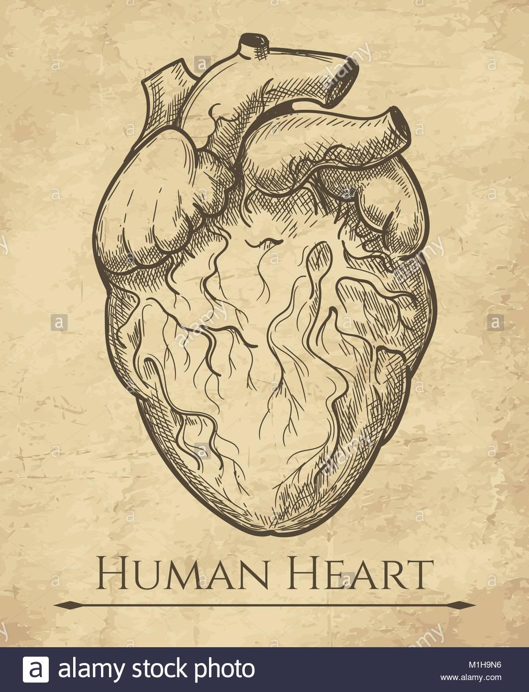 1063x1390 Human Heart Sketch. Anatomical Heart Organ Etching Drawing
