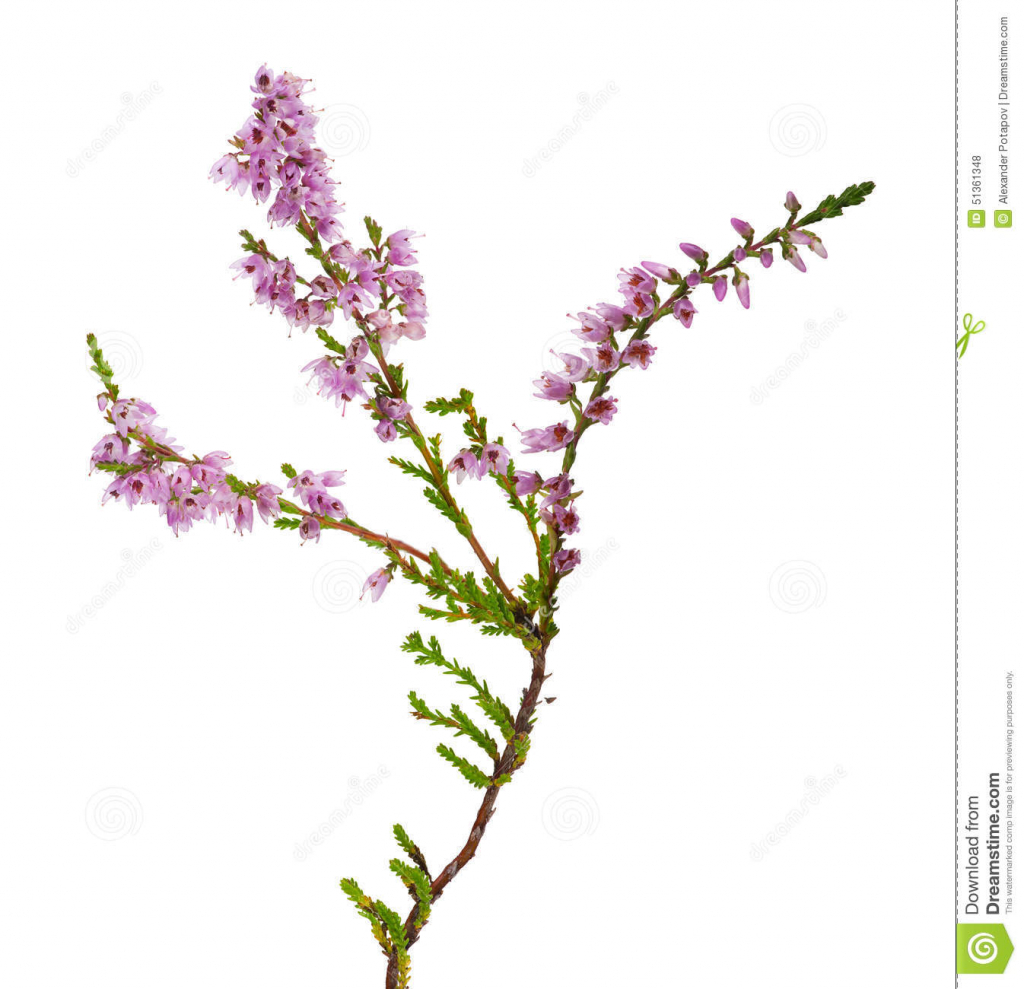 1024x989 Heather Flower Drawing Stock Images Similar To Id 40043062