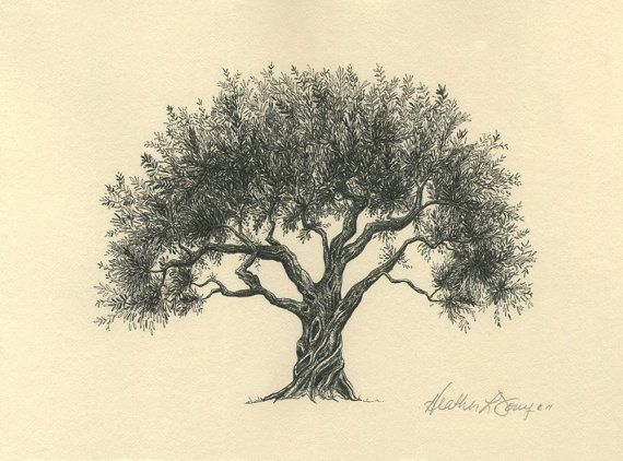 570x422 Olive Tree Drawing Pen And Ink Fine Art Print On Natural Paper