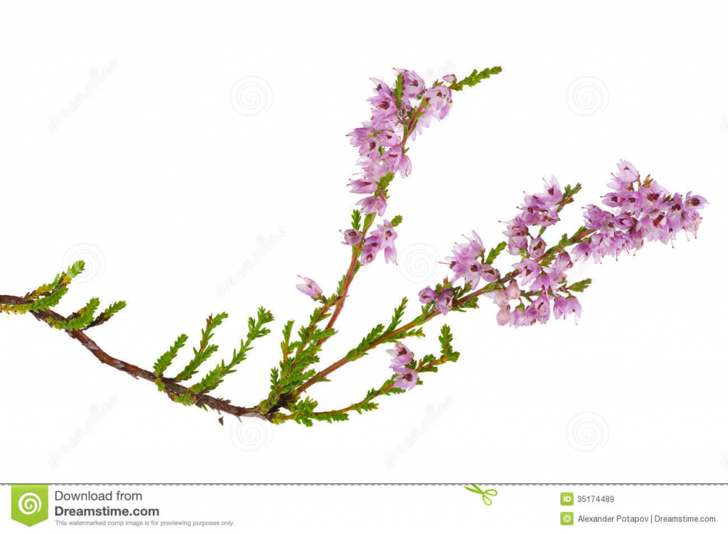 Heather Flower Drawing at GetDrawings.com | Free for ...