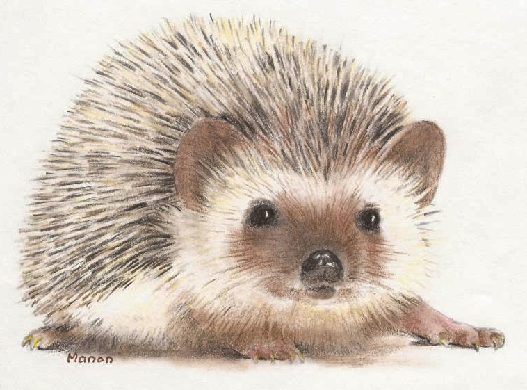 758x561 Colour Pencil Drawing Of A Hedgehog. Manon Massari. Httpswww