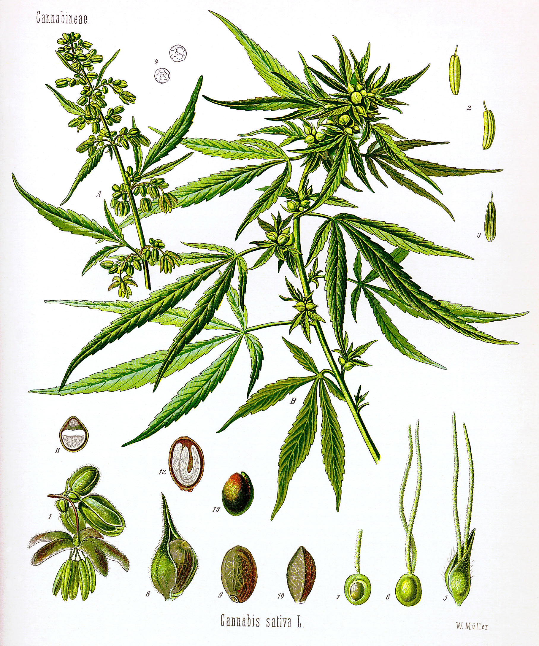 1816x2177 Filecannabis Sativa Koehler Drawing.jpg