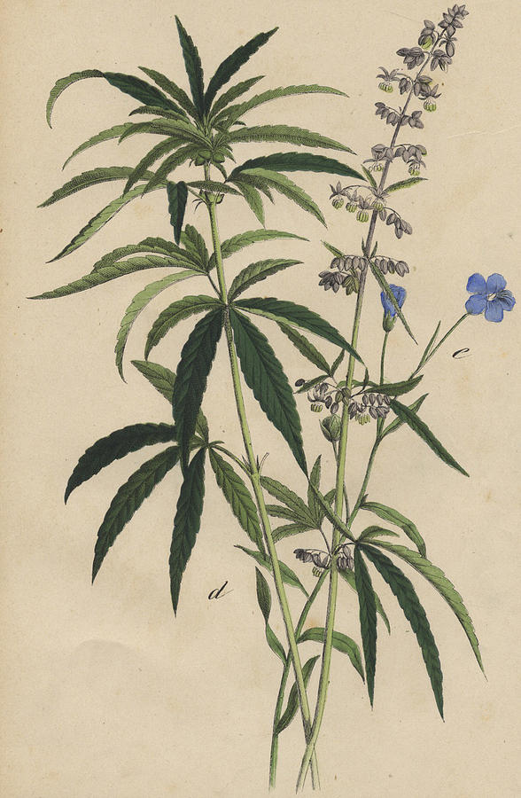 588x900 Hemp Drawing By German Botanical Artist