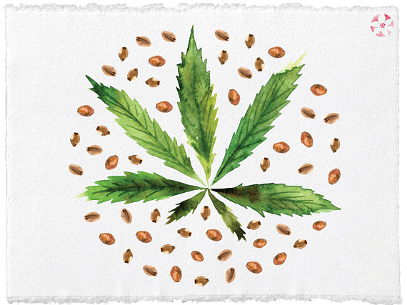 570x427 Watercolor Hemp Seeds Oil Superfood Hemp Set Hemp Leaves