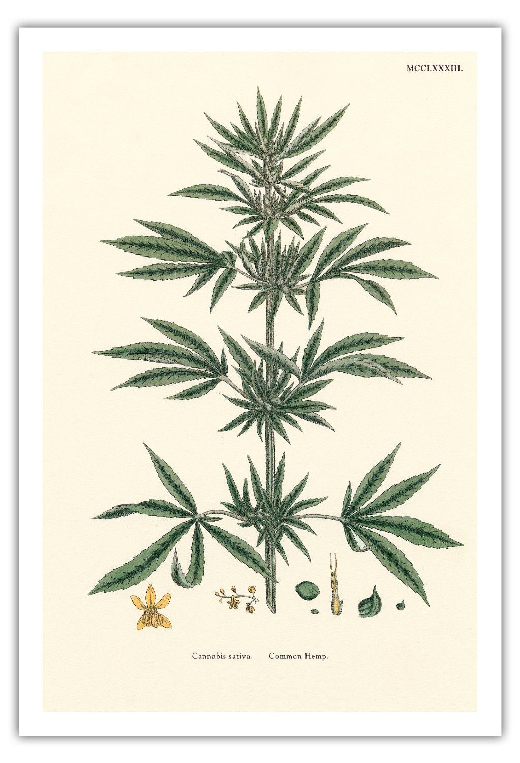 1023x1500 Botanical Illustration Cannabis