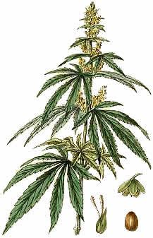 217x337 Cannabis Sativa Drawings And Science Renderings