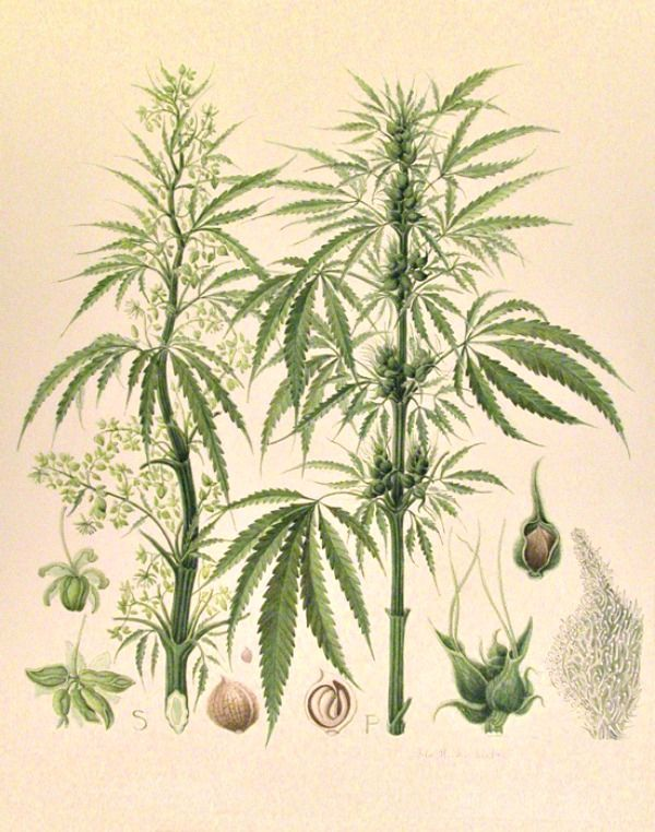 600x762 Hemp Botanical Botanicals Illustrators, Draw