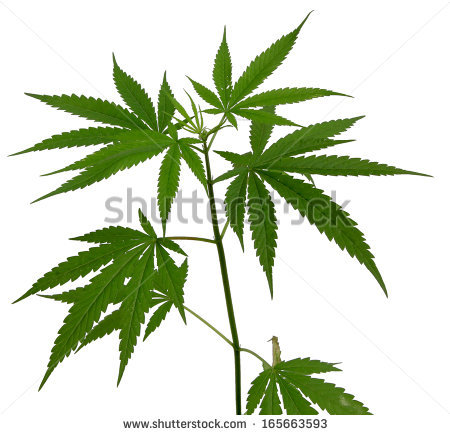 450x435 Marijuana Art Drawings Weed Plants Drawings Young Cannabis Plant