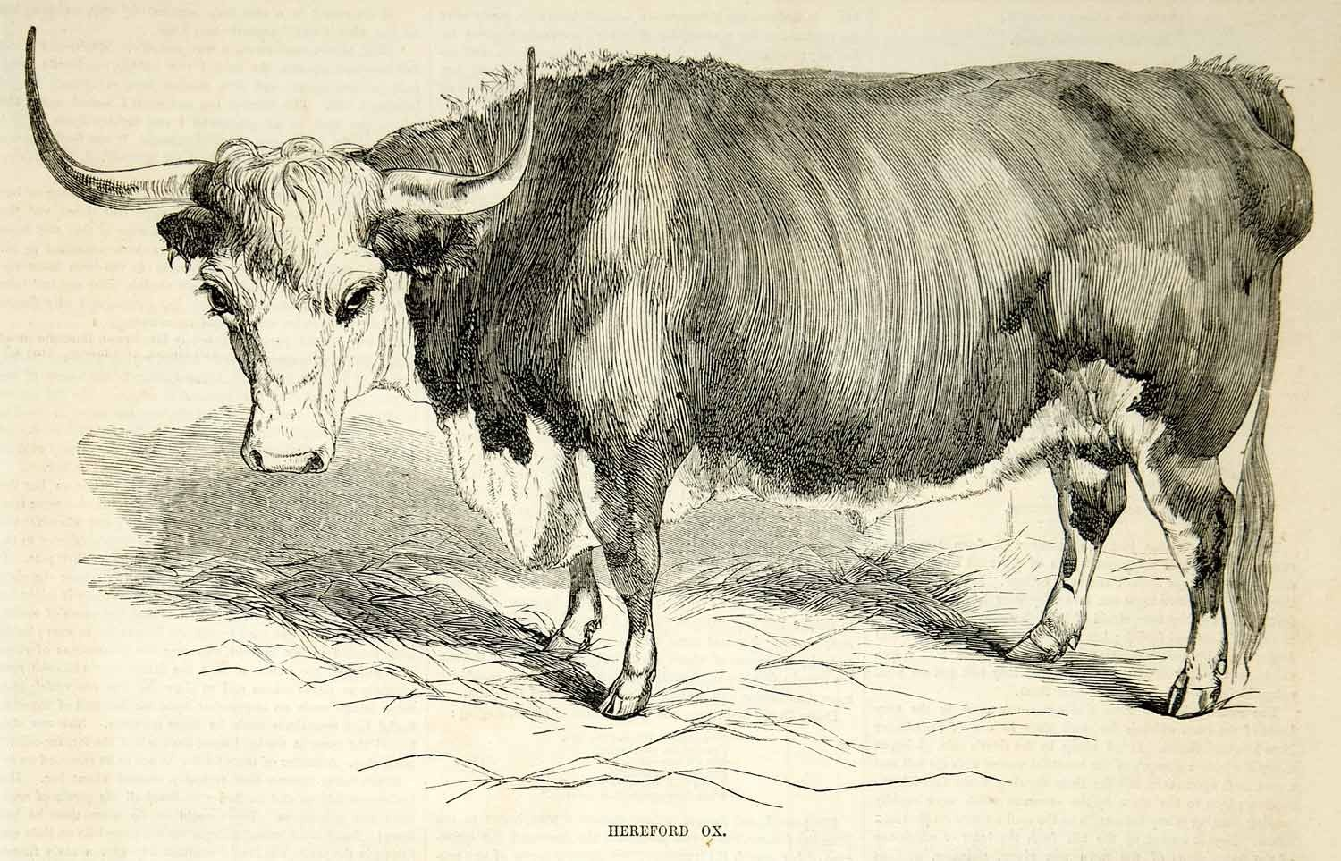1500x963 1854 Wood Engraving Horned Hereford Bull Ox Oxen Cattle Livestock