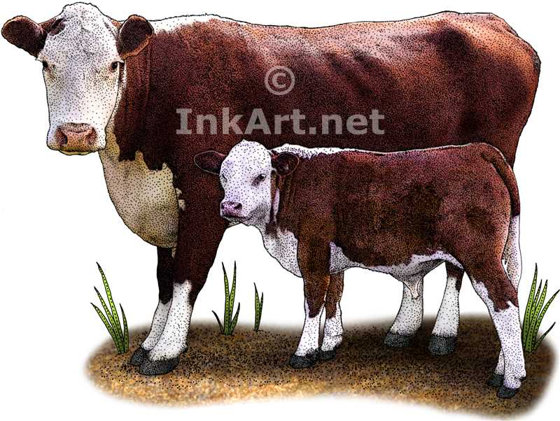 800x602 Hereford Cow And Calf Stock Art Illustration
