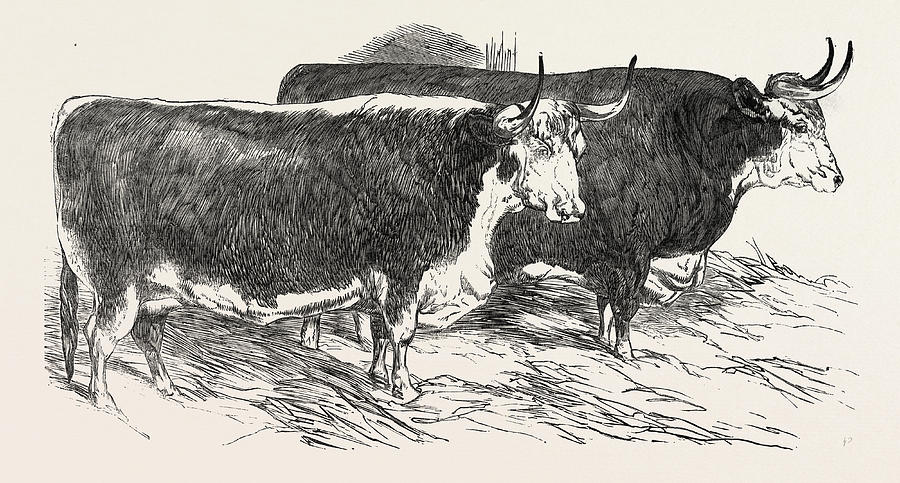 900x483 Smithfield Club Prize Cattle Prince Alberts Hereford Ox Drawing By
